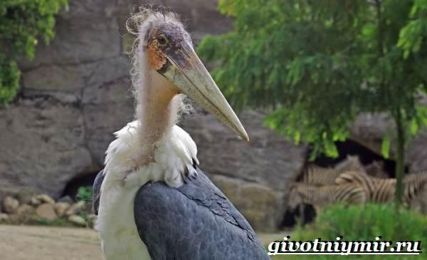 Аист-птица-Образ-жизни-и-среда-обитания-птицы-аист-5