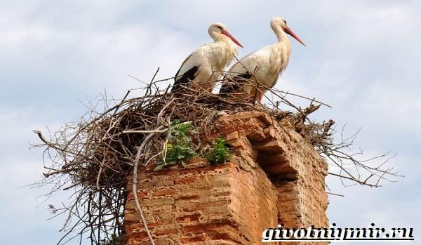 Аист-птица-Образ-жизни-и-среда-обитания-птицы-аист-7