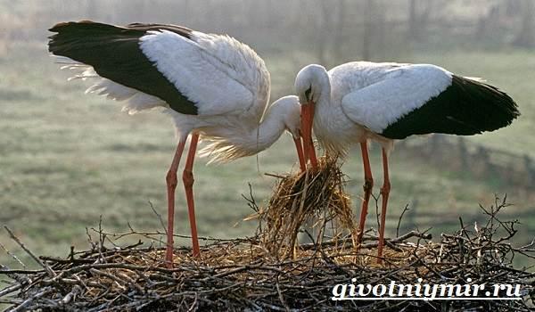 Аист-птица-Образ-жизни-и-среда-обитания-птицы-аист-8
