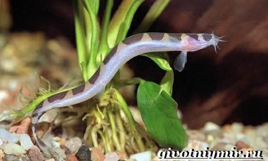 Акантофтальмус-рыба-Образ-жизни-среда-обитания-и-содержание-в-аквариуме-акантофтальмуса-2
