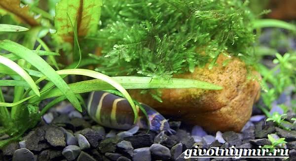Акантофтальмус-рыба-Образ-жизни-среда-обитания-и-содержание-в-аквариуме-акантофтальмуса-4