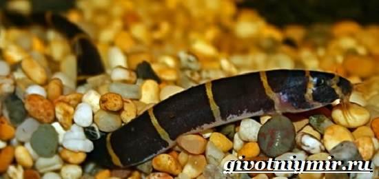 Акантофтальмус-рыба-Образ-жизни-среда-обитания-и-содержание-в-аквариуме-акантофтальмуса-8