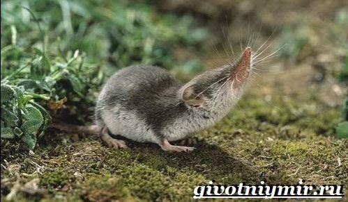 Бурозубка-животное-Образ-жизни-и-среда-обитания-бурозубки-3