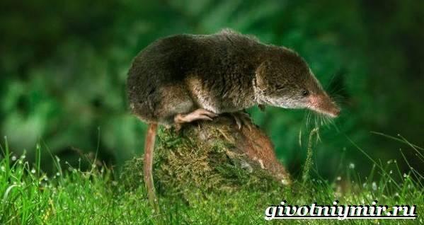 Бурозубка-животное-Образ-жизни-и-среда-обитания-бурозубки-6