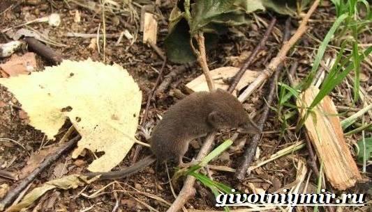 Бурозубка-животное-Образ-жизни-и-среда-обитания-бурозубки-8