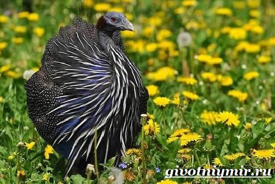 Цесарка-птица-Образ-жизни-среда-обитания-и-разведение-цесарок-3