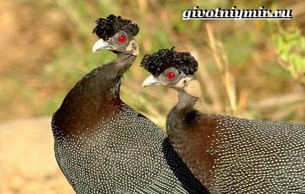 Цесарка-птица-Образ-жизни-среда-обитания-и-разведение-цесарок-4