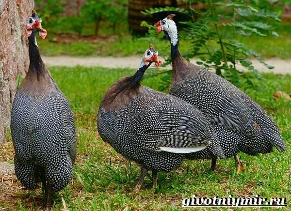 Цесарка-птица-Образ-жизни-среда-обитания-и-разведение-цесарок-6