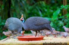 Цесарка птица. Образ жизни, среда обитания и разведение цесарок