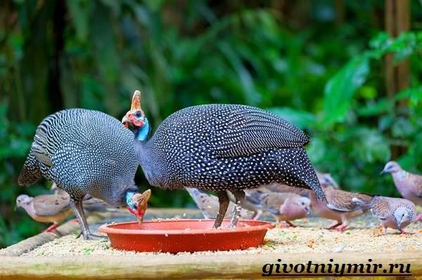 Цесарка-птица-Образ-жизни-среда-обитания-и-разведение-цесарок-7