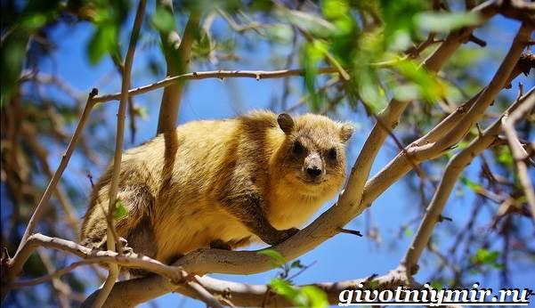 Даман-животное-Образ-жизни-и-среда-обитания-дамана-1
