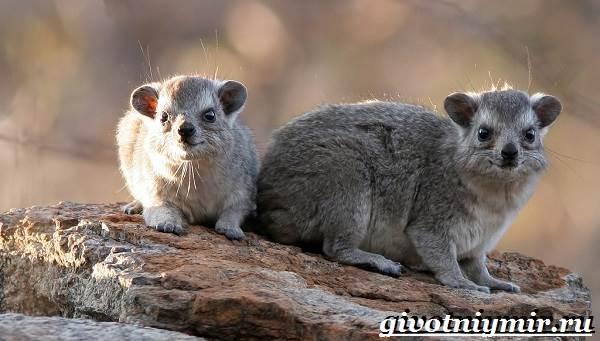 Даман-животное-Образ-жизни-и-среда-обитания-дамана-2