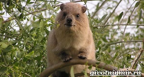 Даман-животное-Образ-жизни-и-среда-обитания-дамана-3