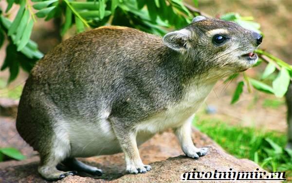 Даман-животное-Образ-жизни-и-среда-обитания-дамана-4
