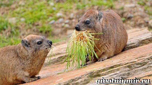 Даман-животное-Образ-жизни-и-среда-обитания-дамана-8