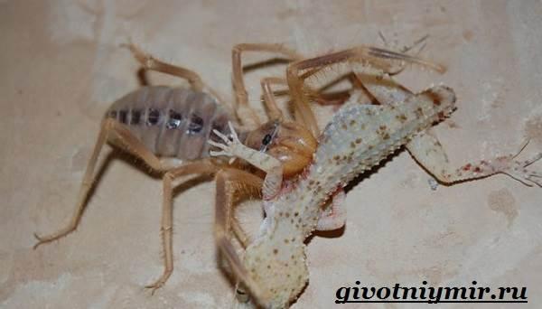 Фаланга-паук-Образ-жизни-и-среда-обитания-паука-фаланга-7