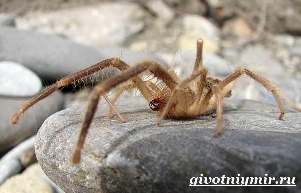 Фаланга-паук-Образ-жизни-и-среда-обитания-паука-фаланга-8