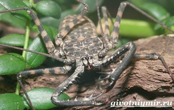 Фрин-паук-Образ-жизни-и-среда-обитания-паука-фрина-6