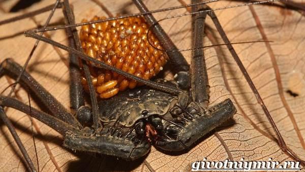 Фрин-паук-Образ-жизни-и-среда-обитания-паука-фрина-9