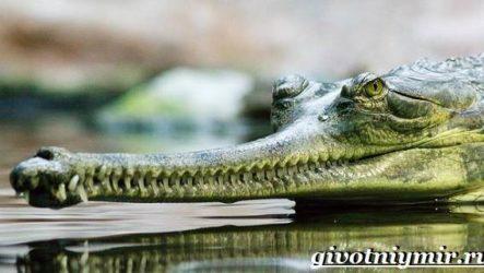Гавиал крокодил. Образ жизни и среда обитания гавиала