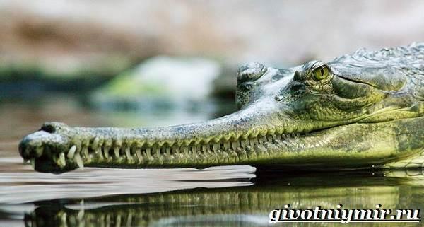 Гавиал-крокодил-Образ-жизни-и-среда-обитания-гавиала-1
