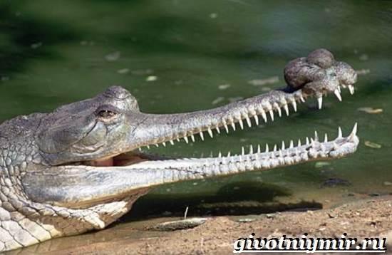 Гавиал-крокодил-Образ-жизни-и-среда-обитания-гавиала-2