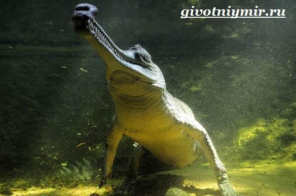 Гавиал-крокодил-Образ-жизни-и-среда-обитания-гавиала-3