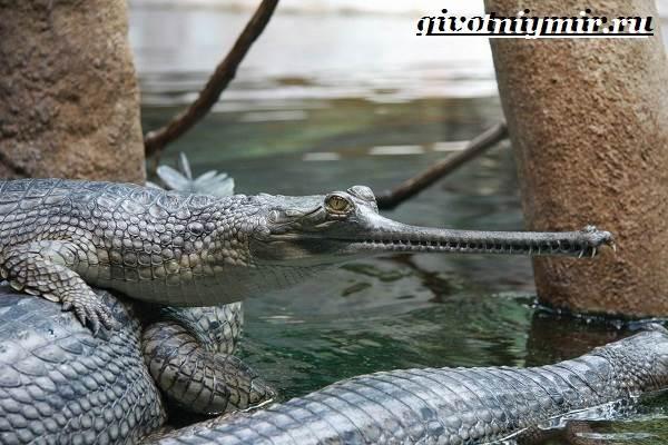 Гавиал-крокодил-Образ-жизни-и-среда-обитания-гавиала-4