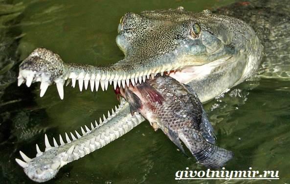 Гавиал-крокодил-Образ-жизни-и-среда-обитания-гавиала-5