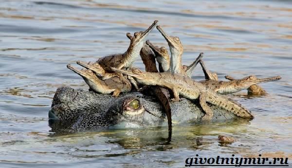 Гавиал-крокодил-Образ-жизни-и-среда-обитания-гавиала-6