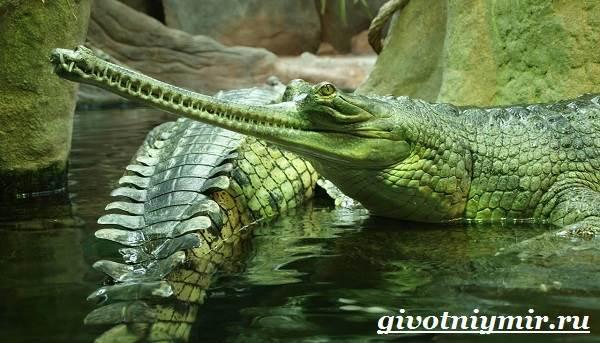 Гавиал-крокодил-Образ-жизни-и-среда-обитания-гавиала-7