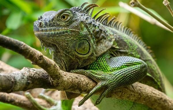 iguana-zhivotnoe-obraz-zhizni-i-sreda-obitaniya-iguany-11