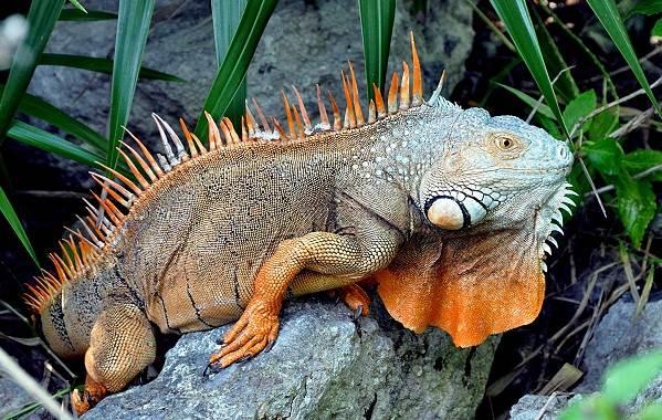 iguana-zhivotnoe-obraz-zhizni-i-sreda-obitaniya-iguany-12