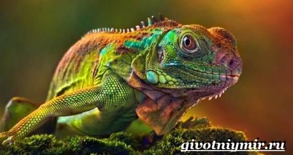 Игуана-животное-Образ-жизни-и-среда-обитания-игуаны-7