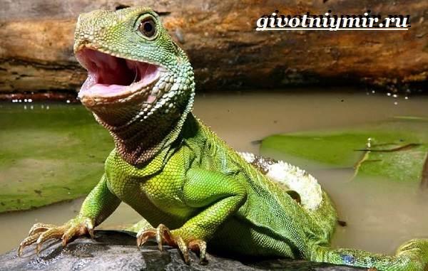 Игуана-животное-Образ-жизни-и-среда-обитания-игуаны-9
