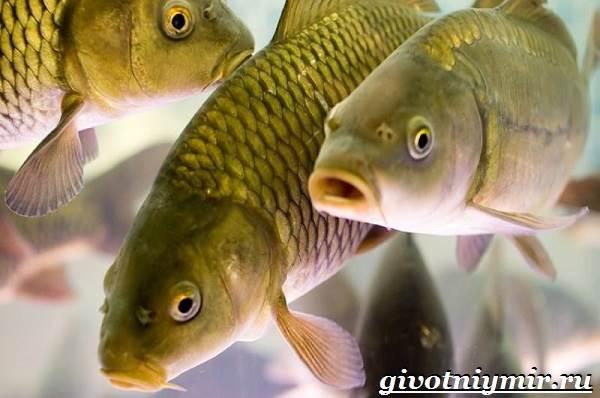 Карп-рыба-Образ-жизни-среда-обитания-и-как-приготовить-карпа-1