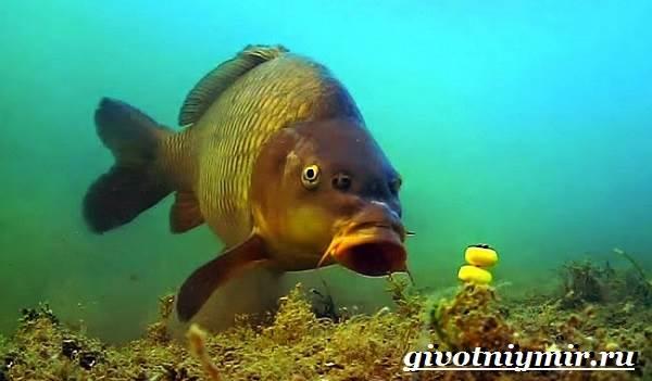 Карп-рыба-Образ-жизни-среда-обитания-и-как-приготовить-карпа-11