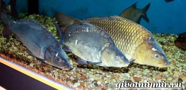 Карп-рыба-Образ-жизни-среда-обитания-и-как-приготовить-карпа-13