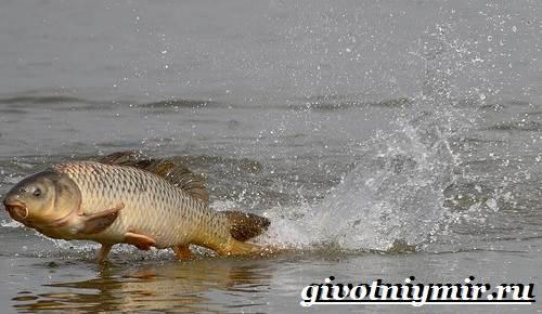 Карп-рыба-Образ-жизни-среда-обитания-и-как-приготовить-карпа-2