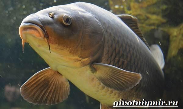 Карп-рыба-Образ-жизни-среда-обитания-и-как-приготовить-карпа-3