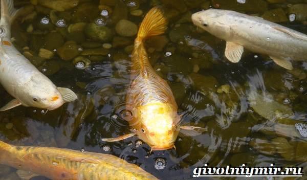 Карп-рыба-Образ-жизни-среда-обитания-и-как-приготовить-карпа-4