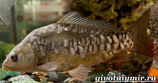 Карп-рыба-Образ-жизни-среда-обитания-и-как-приготовить-карпа-5