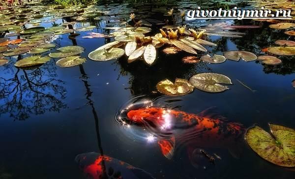 Карп-рыба-Образ-жизни-среда-обитания-и-как-приготовить-карпа-8