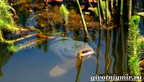 Карп-рыба-Образ-жизни-среда-обитания-и-как-приготовить-карпа-9
