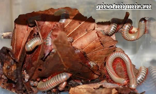 Кивсяк-многоножка-Образ-жизни-и-среда-обитания-кивсяка-4