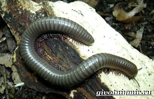 Кивсяк-многоножка-Образ-жизни-и-среда-обитания-кивсяка-5