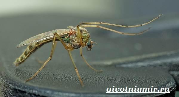 Комар-насекомое-Образ-жизни-и-среда-обитания-комара-1
