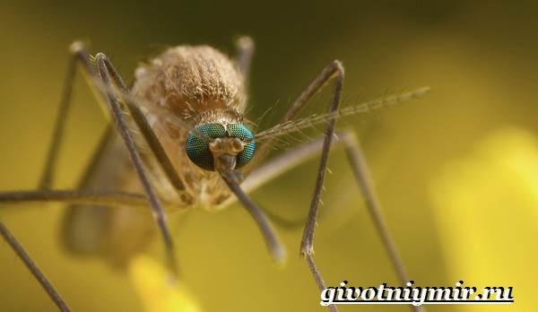 Комар-насекомое-Образ-жизни-и-среда-обитания-комара-2