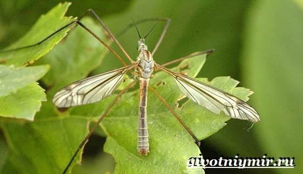 Комар-насекомое-Образ-жизни-и-среда-обитания-комара-4
