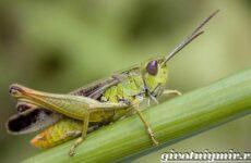 Кузнечик насекомое. Образ жизни и среда обитания кузнечика